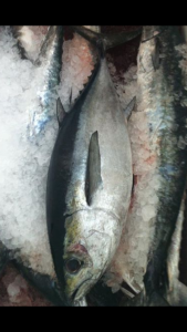 blackfin tuna in Port Canaveral & Cocoa Beach, FL