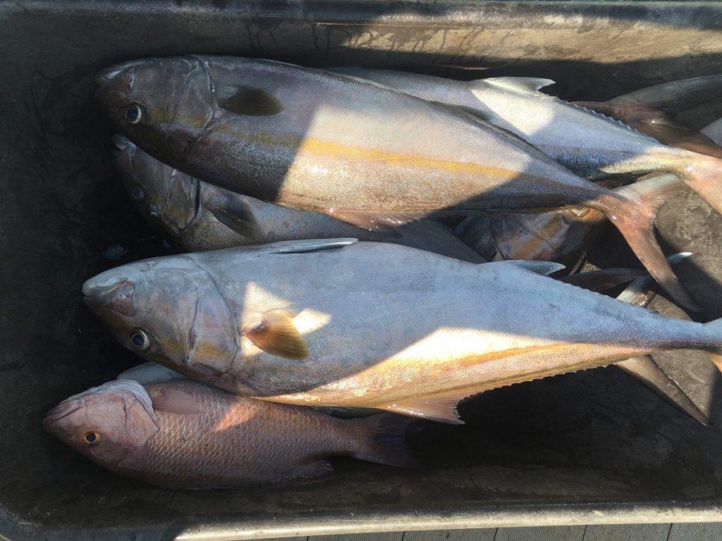 amberjack-charter-fishing